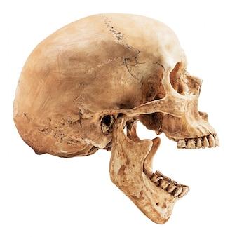 Crâne humain isolé