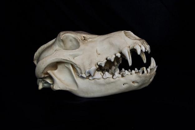 Crâne de loup avec de grands crocs dans la bouche ouverte isolé sur un mur noir
