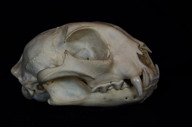 Crâne de lynx roux avec de grands crocs dans la bouche ouverte isolé sur un mur noir