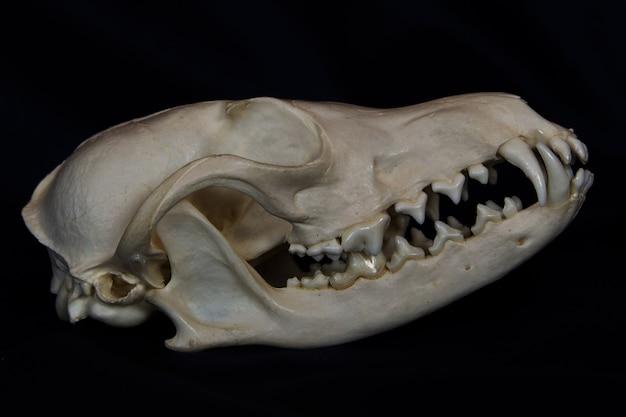 Crâne de renard roux avec de grands crocs dans la bouche fermée isolé sur un mur noir