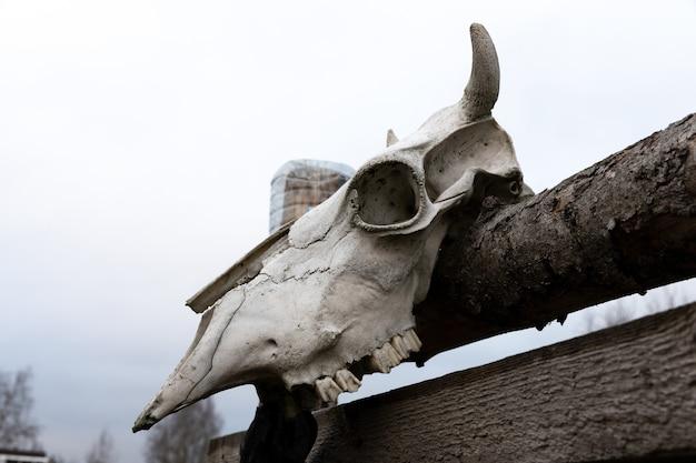 Le crâne de vache est suspendu à une clôture en bois dans la rue