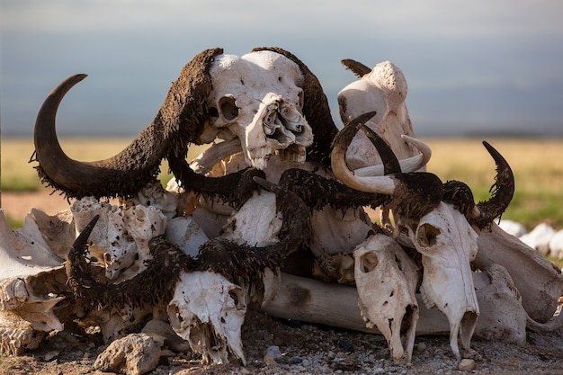 Crânes de bison empilés