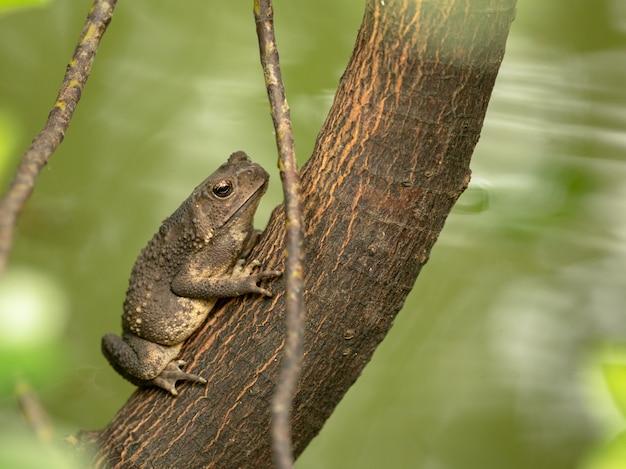 Crapaud commun asiatique, crapaud à épines noires, duttaphrynus melanostictus assis sur l'arbre