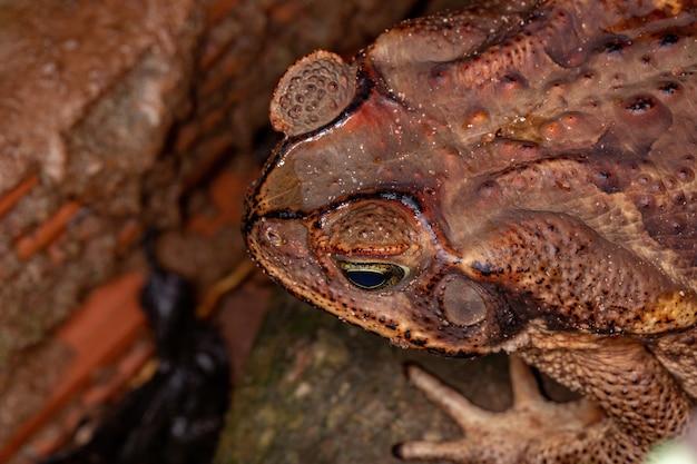 Crapaud cururu adulte de l'espèce rhinella diptycha