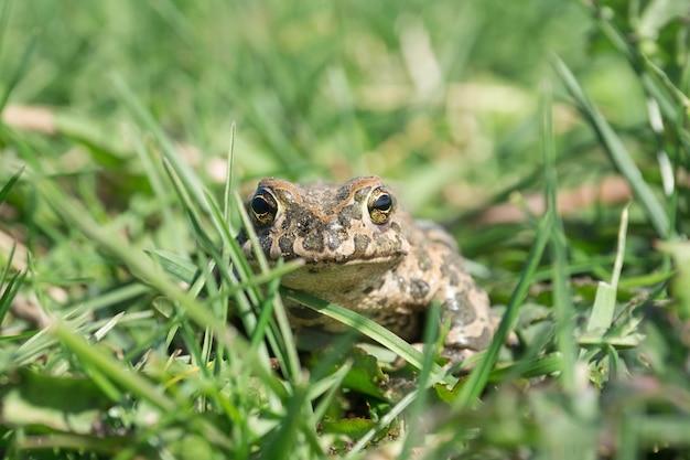 Le crapaud sur l'herbe