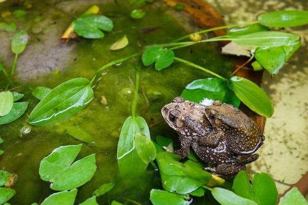 Crapauds ayant des rapports sexuels sur l'étang avec des feuilles de lotus d'eau