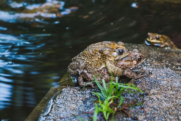 Crapauds dans un étang pendant la saison des amours