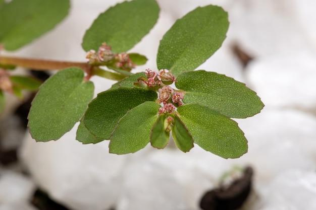 Creeper caustique rouge de l'espèce euphorbia thymifolia avec fruits et fleurs