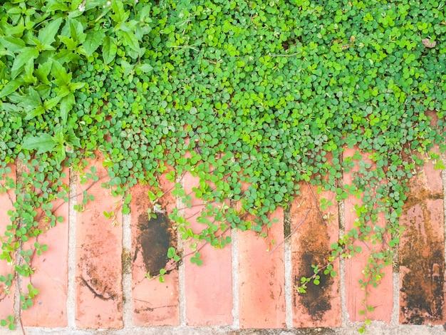 Creepers sur le sol de brique dans le jardin