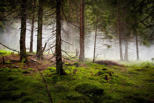 Crépuscule dans la forêt de conifères sauvages. brouillard épais