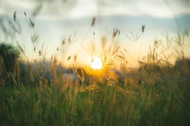 Crépuscule des herbes des prairies