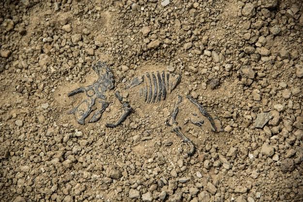 Creuser des os tricératops de fossiles de dinosaure.