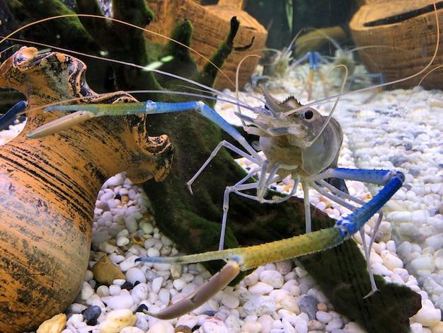 Crevette géante d'eau douce ou crevette géante de rivière en cuve.
