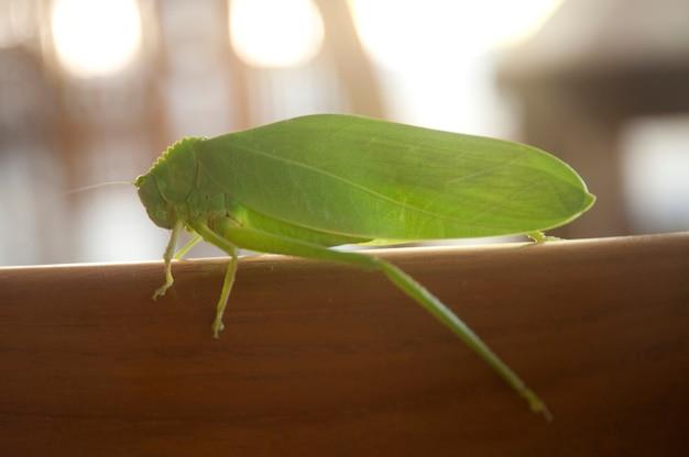 Cricket vert clair de profil