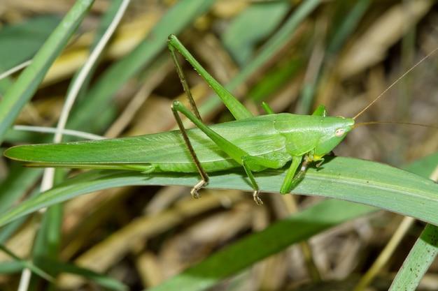 Cricket vert