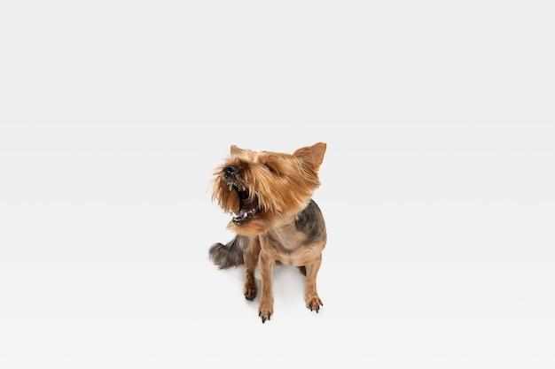Crier, hurler. chien yorkshire terrier pose. mignon chien noir brun ludique ou animal de compagnie jouant sur fond de studio blanc. concept de mouvement, action, mouvement, amour des animaux de compagnie. ça a l'air ravi, drôle.