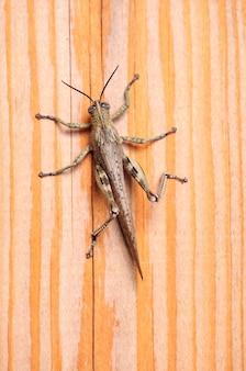 Criquet gris, végétation nuisible insectivore