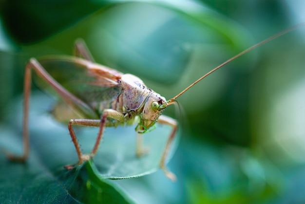 Criquet vert sur la feuille d'usine, parasites de jardin