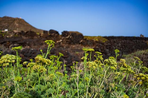 Crithmum maritimum connu sous le nom de salicorne ou fenouil de mer , linosa. sicile