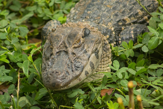 Crocodile amazon