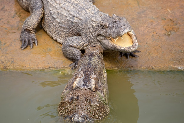 Crocodile d'asie