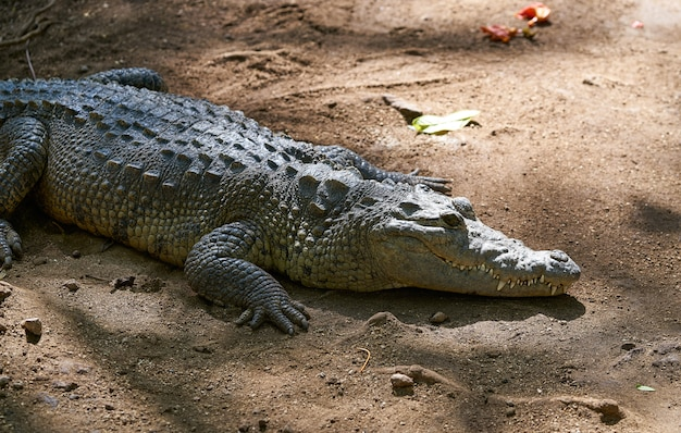 Crocodile au mexique riviera maya