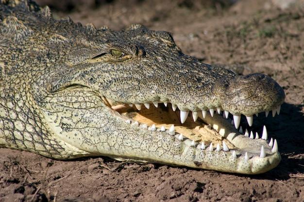 Crocodile au soleil sur les rives de la rivière chobe, botswana