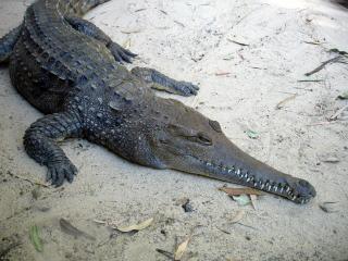 Crocodile, bspo06