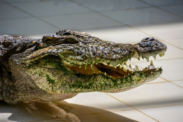 Crocodile.crocodiles se reposant à la ferme aux crocodiles en thaïlande.