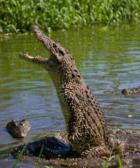 Le crocodile cubain saute hors de l'eau