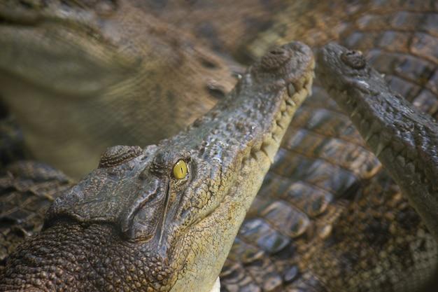 Crocodile dans l'eau, à la ferme aux crocodiles et au zoo de pattaya, thaïlande