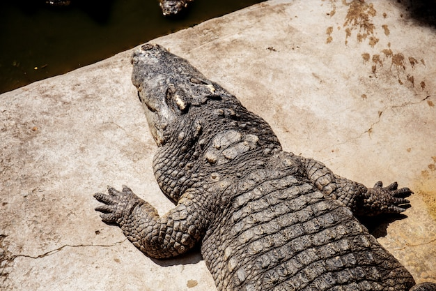 Crocodile dans un étang au soleil.