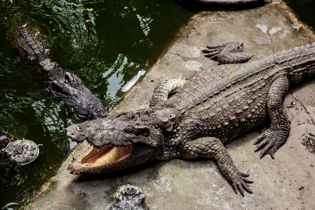 Crocodile dans la ferme avec la lumière du soleil.