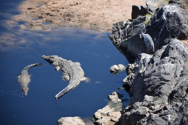 Crocodile dans un lac