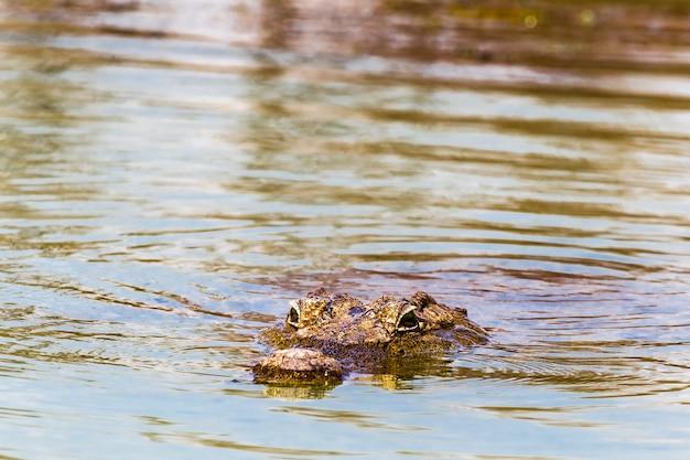 Un crocodile du nil flottant lac baringo kenya afrique