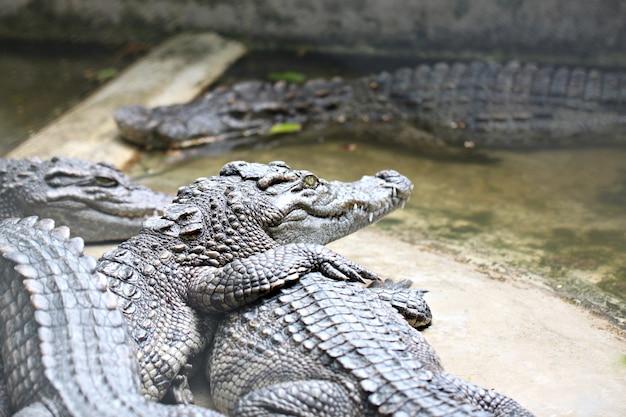 Le crocodile en eau douce tout en relax.
