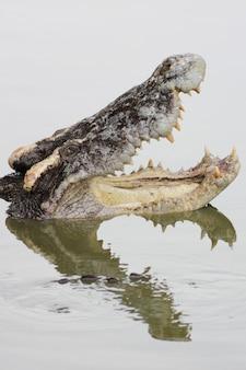 Crocodile à gueule ouverte