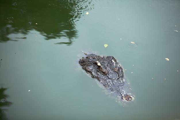 Crocodile nage, seule la tête au-dessus de l'eau