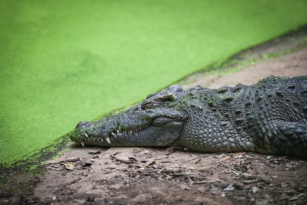 Crocodile reposant sur une pierre près de l'eau dans la ferme aux crocodiles - reptile animalier