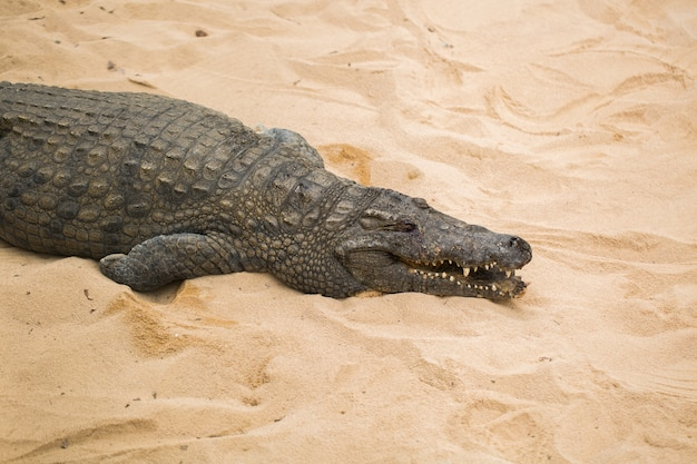 Crocodile sur sable clair