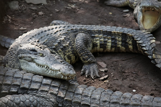 Crocodile de sel sur le canal