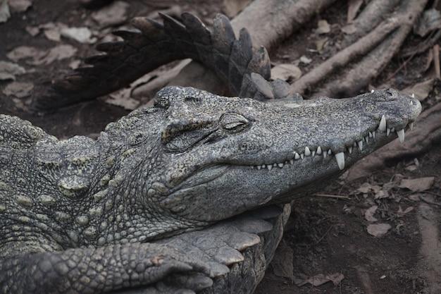 Crocodile de sel dormant sur le canal