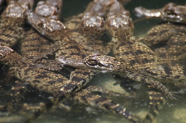 Crocodile avec la tête hors de l'eau.