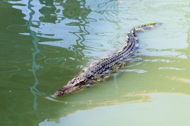 Le crocodile thaïlandais nageant sur la rivière