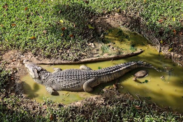 Le crocodile thaïlandais repose sur le jardin
