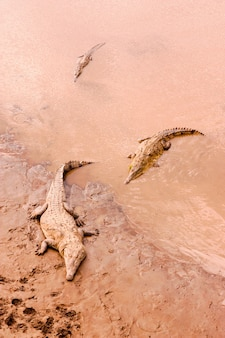 Crocodiles dans la boue