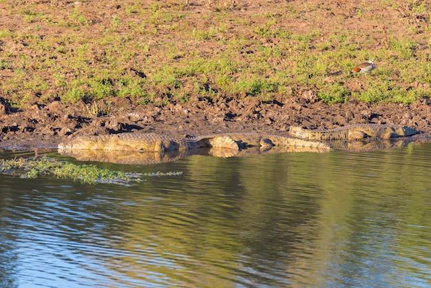 Crocodiles sur la rive du fleuve. safari dans le parc national kruger, destination de voyage en afrique du sud.