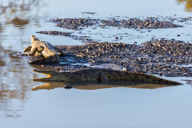 Crocodiles sur la rive du fleuve