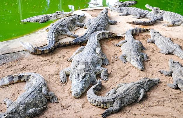 Crocodiles sauvages au bord de la rivière