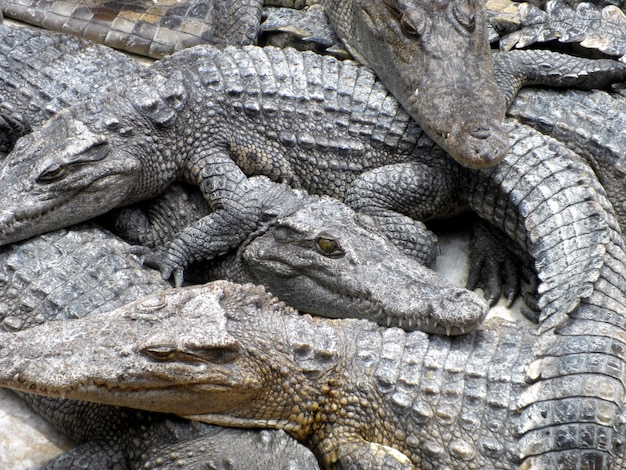 Crocodiles se bouchent en thaïlande